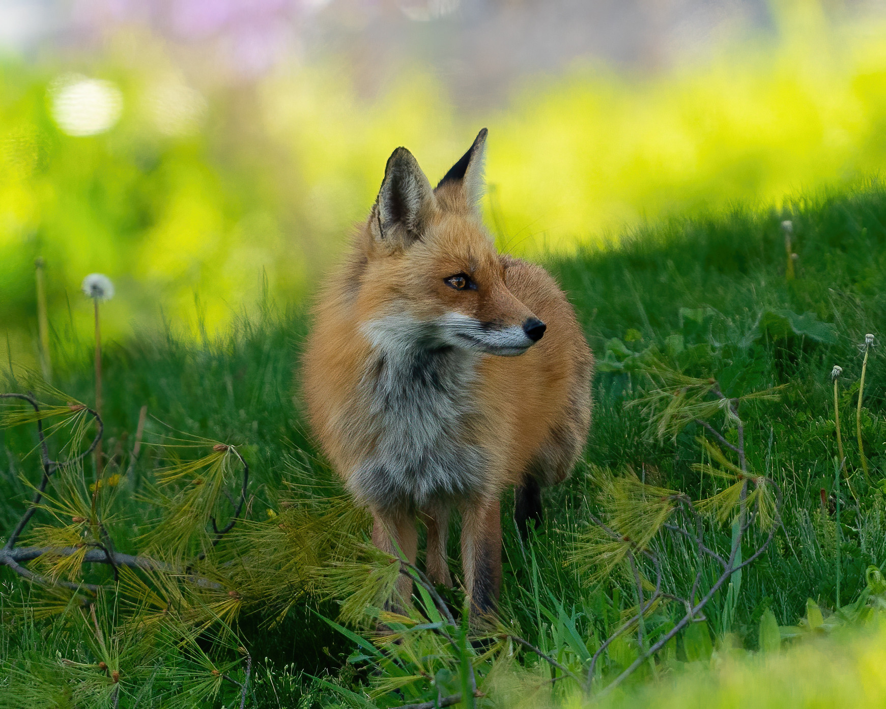 Red fox on the hunt for food