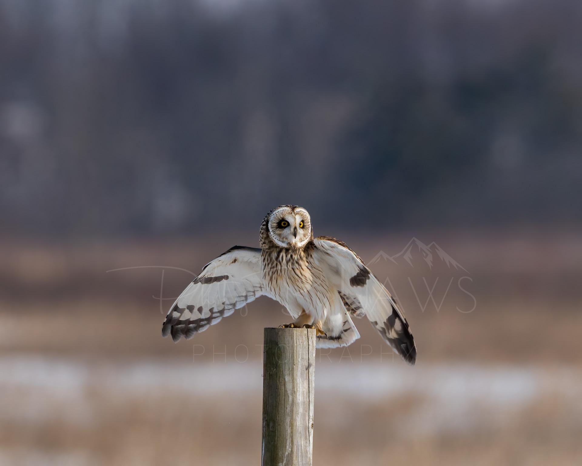 Short Eared Owl Landing