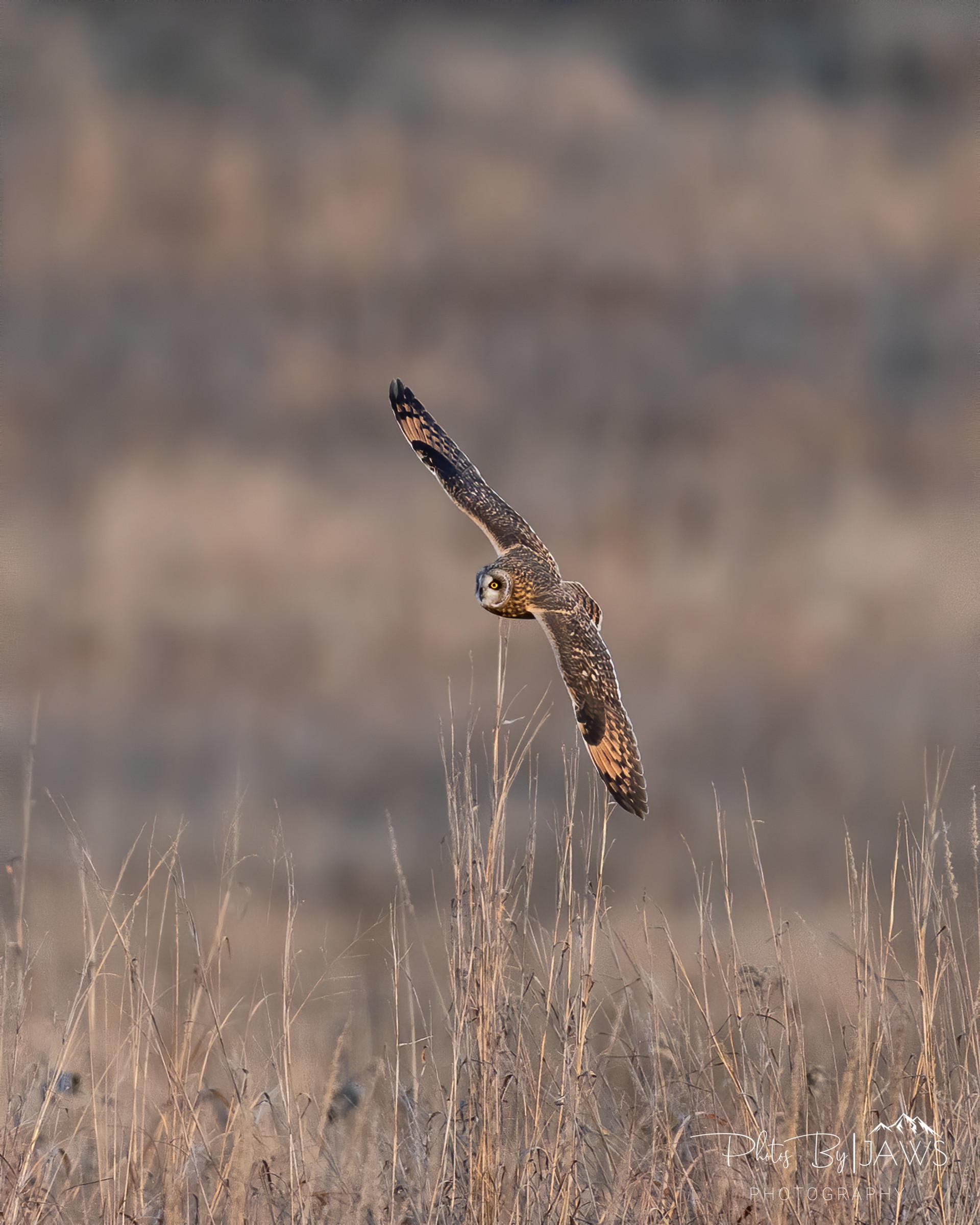 Short earred owl fly by
