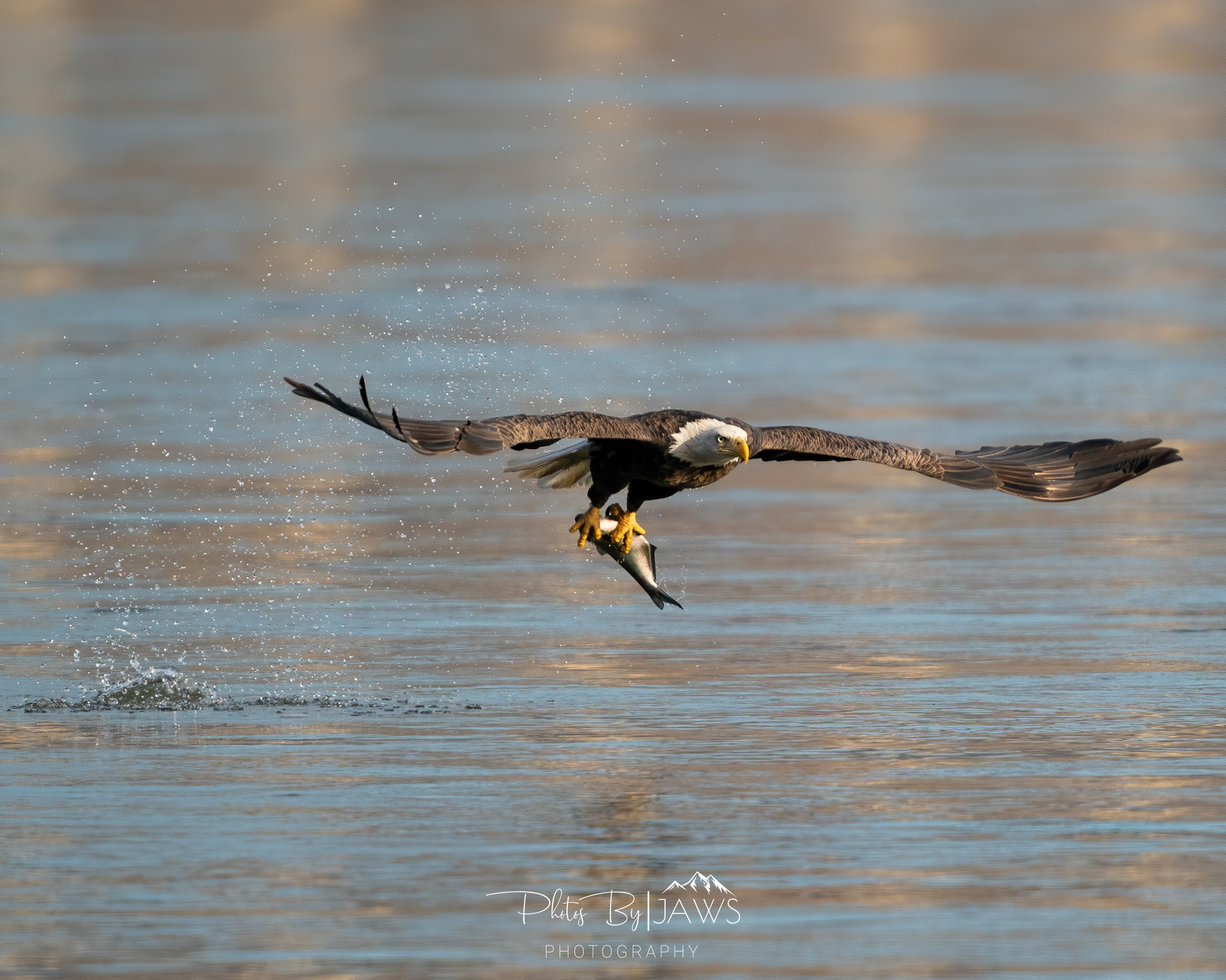 Bald eagle catching lunch