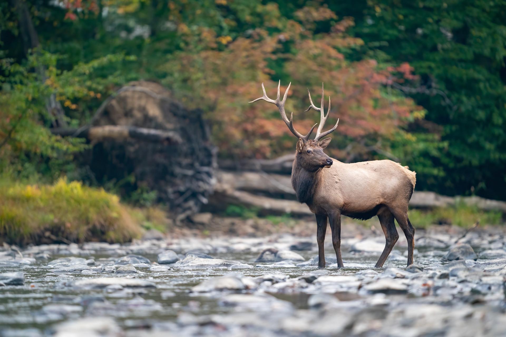 Bull elk crossing river