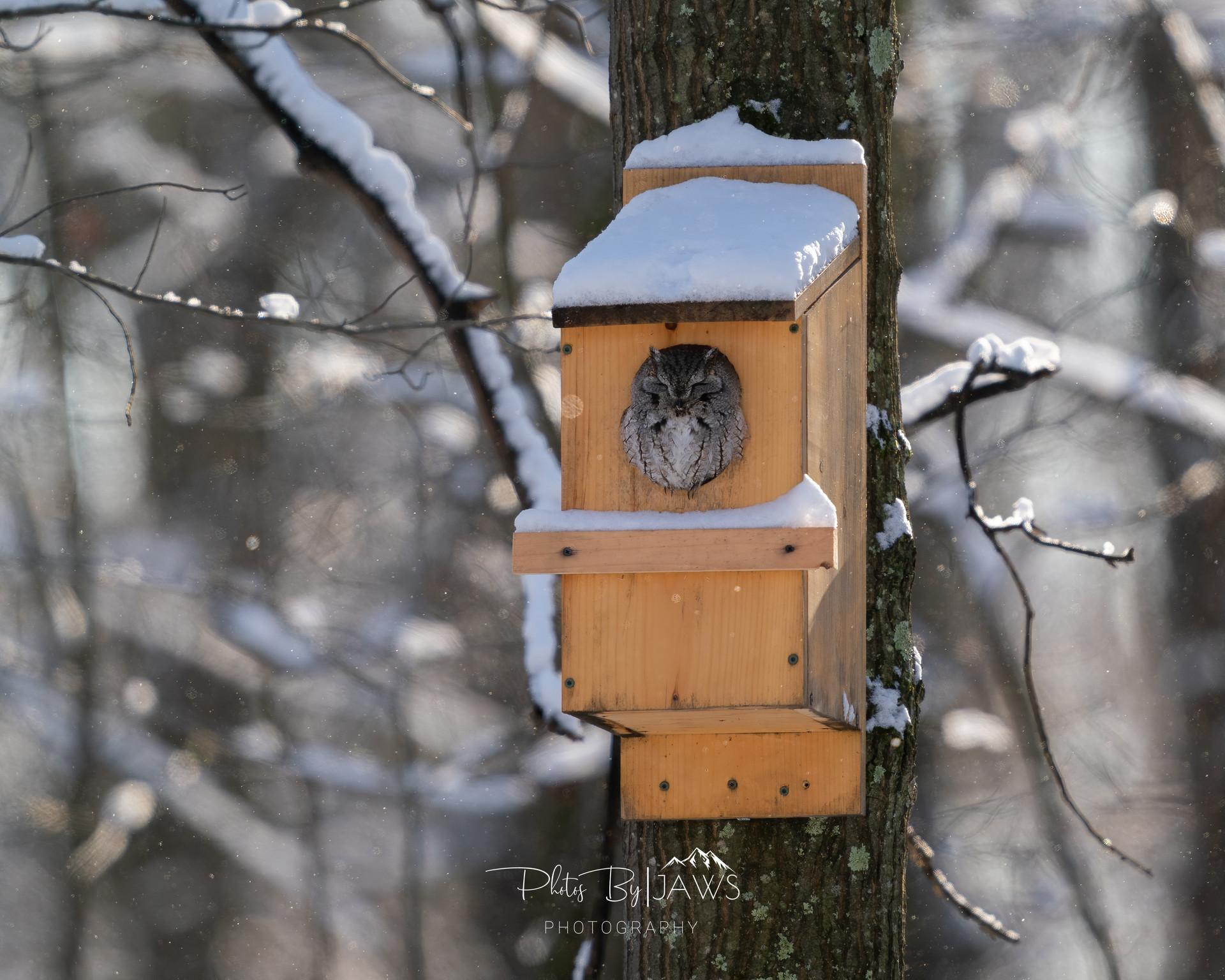 Gray eastern screech owl