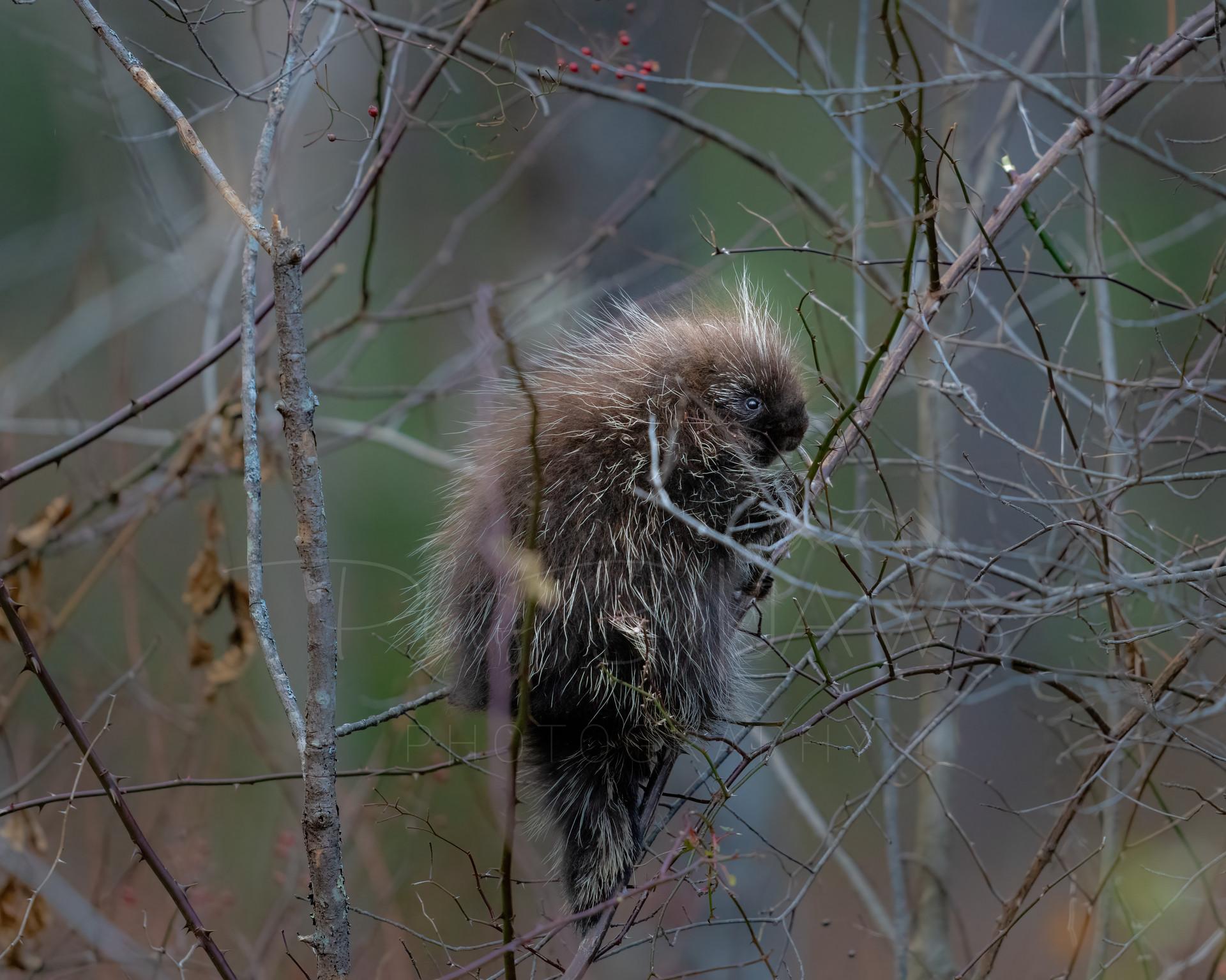 Baby porcupine climbing tree