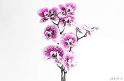Flowers - Orchidee (3).jpg