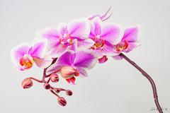 Flowers - Orchidee (4).jpg