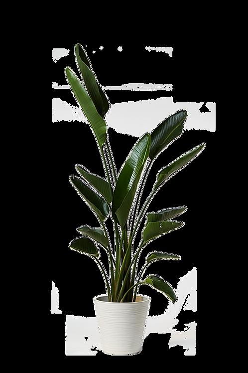 Palma Viajera (Strelitzia nicolai)