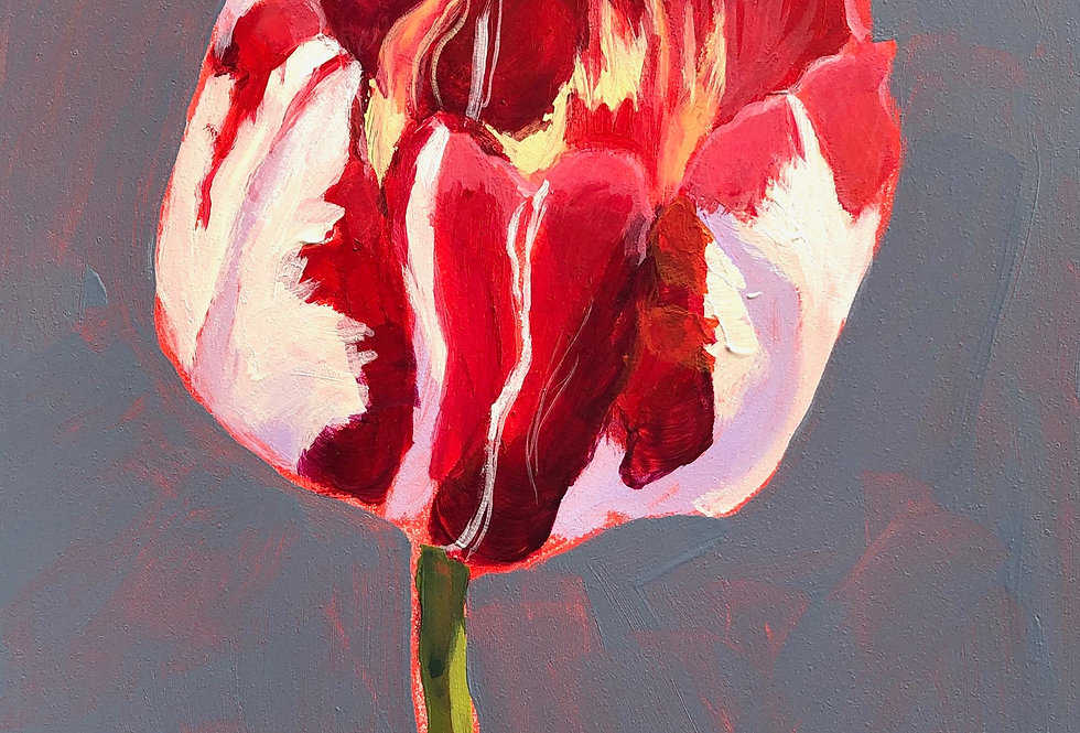 Peppermint Striped Tulip