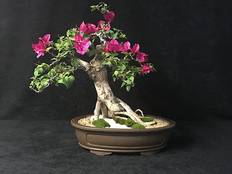 Bouganvillea Bonsai