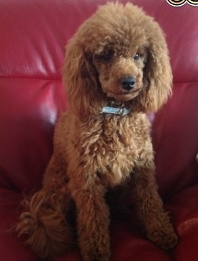 for-stud-rare-red-toy-poodle-kc-reg-528ddf502890a (2)