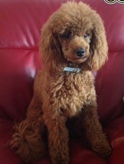 for-stud-rare-red-toy-poodle-kc-reg-528ddf502890a (2)