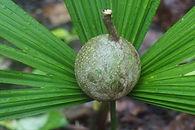 jagua fruit.jpeg