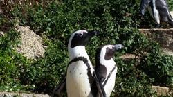Pinguini Sudafrica | Ciak Viaggi