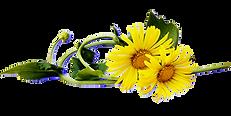 Dandelion-Coloured.png