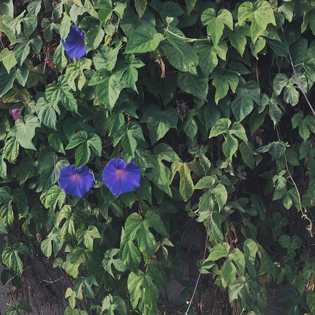 Photo of ivy and morning glories.