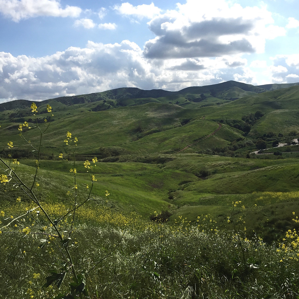Photo of wide-sweeping hillsides, up-reaching mustard plants and vollumous clouds.
