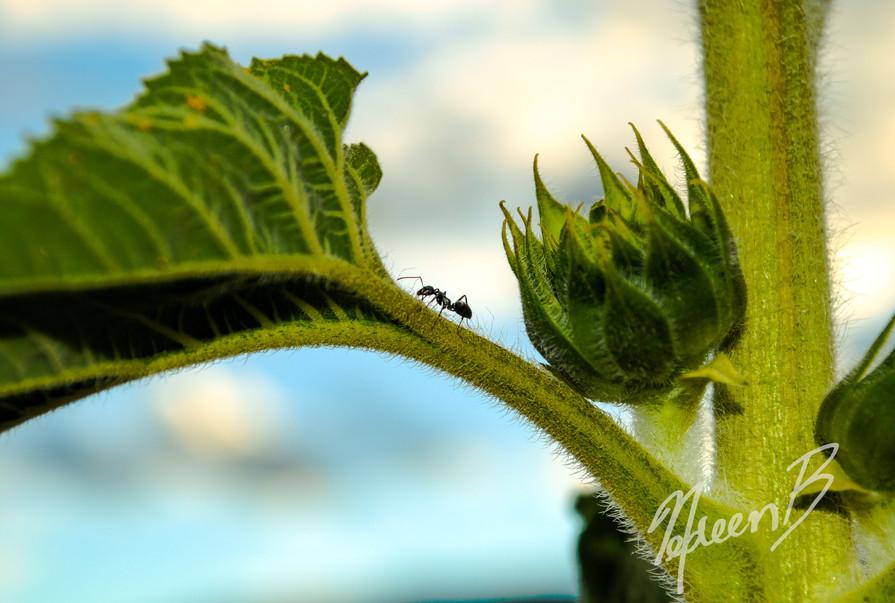 Ant on Sunflower