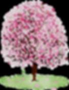kisspng-amazon-com-cherry-blossom-amazon