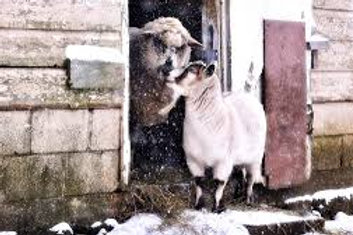 Compassion in World Farming Christmas Cards