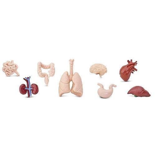 איברי גוף