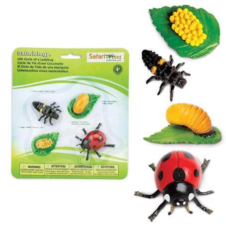 מחזור החיים של חיפושית