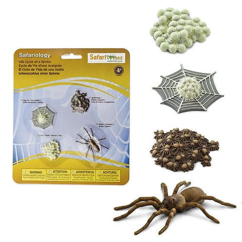 מחזור החיים של עכביש