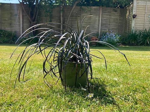 Black Ornamental Grass (Ophiopogon planiscapus) RRP £13