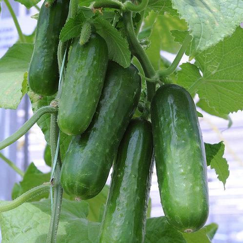 Verve Mini Cucumber Plants
