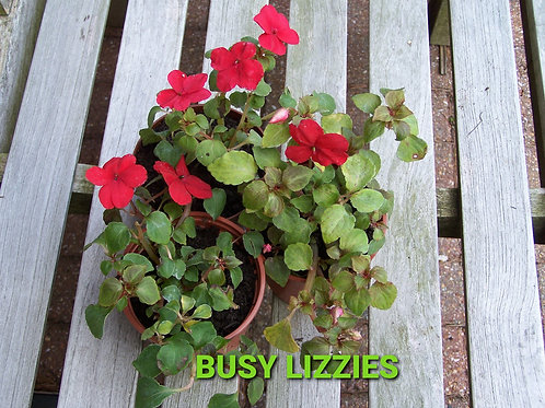 Busy Lizzy - £1 for 3 Plants