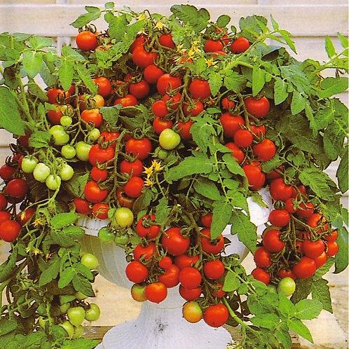 Moskotka Tomato Plants