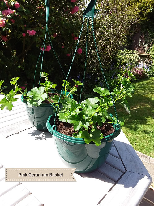 Geranium Hanging Baskets (Pink geraniums and dark blue Lobelia)