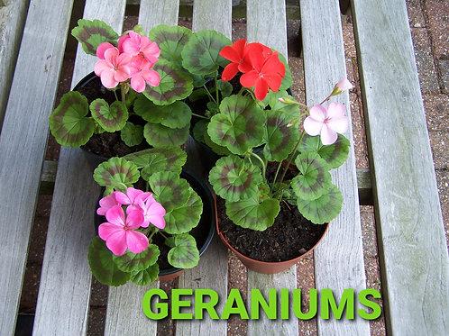 Geranium (Mixed)