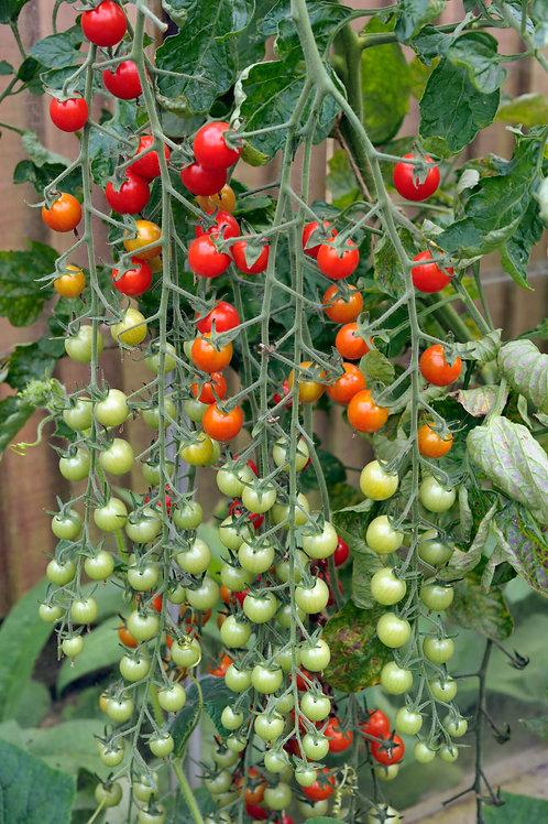 Sweet Million Tomato Plants