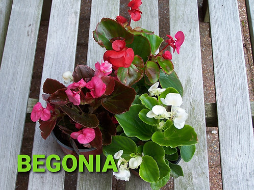 Begonia (Mixed) - £1 for 3 Plants