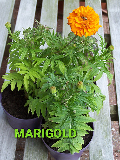 Giant Marigolds - £1 for 3 Plants
