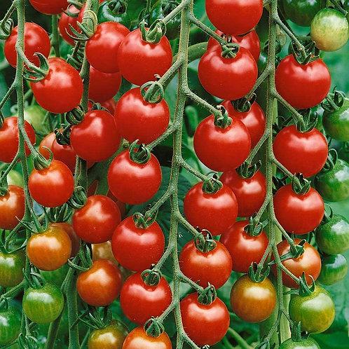 Gardner's Delight Tomato Plants