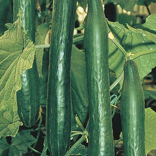 Telepathy Cucumber Plants