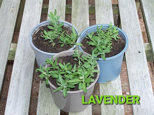 Lavender (Munstead)