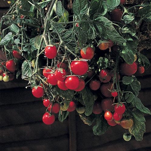 Gartenperle Tomato