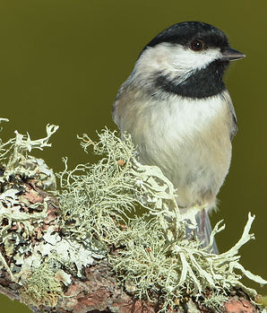 chickadee%204%20(1%20of%201)_edited.jpg