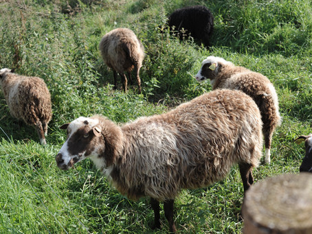 Velkommen til fårene