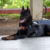 Explosive and Drug Detection Canines