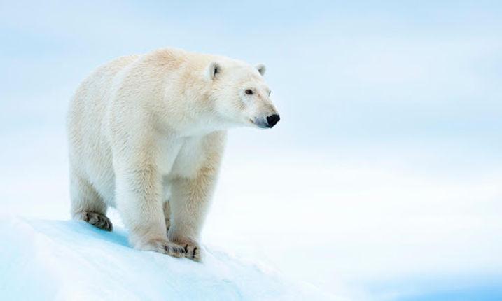Polar_bear.jpg
