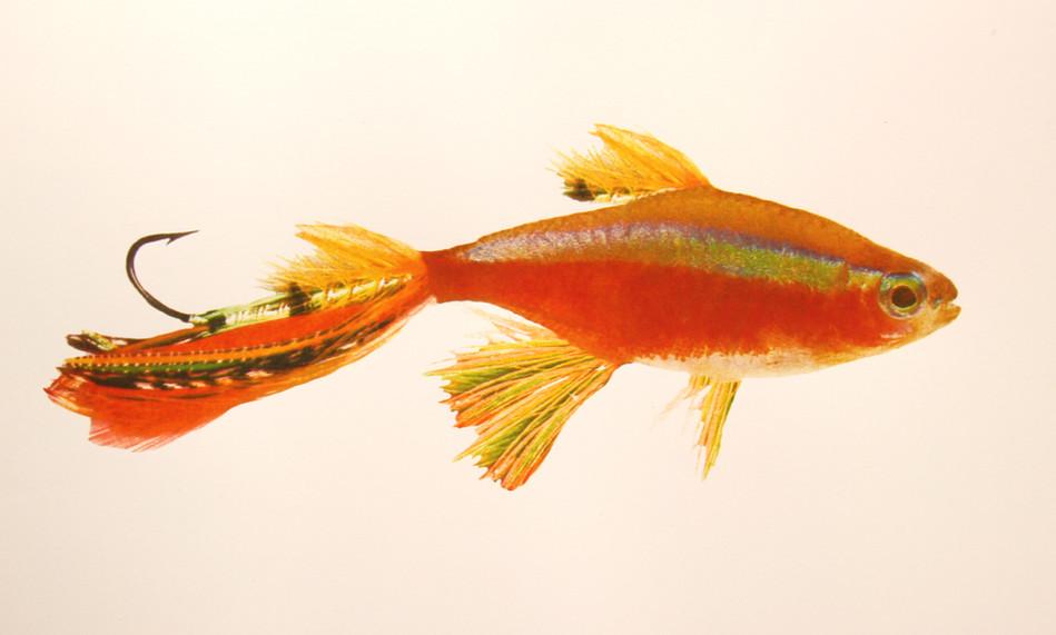 Cardinal Tetra Fly