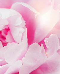 peony-flowers-and-petals-with-dew-drops-