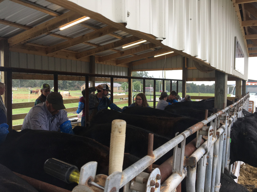 More AI cattle training