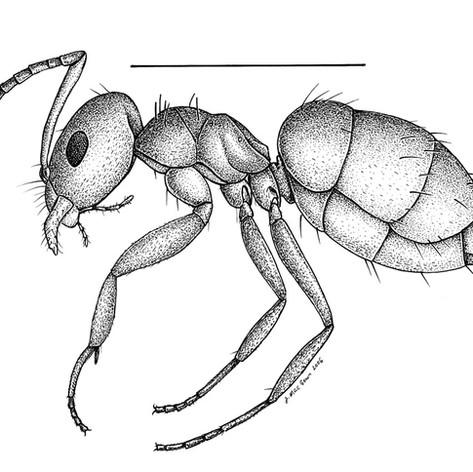 Brachymyrmex patagonicus