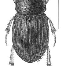 Aphodius robinsoni