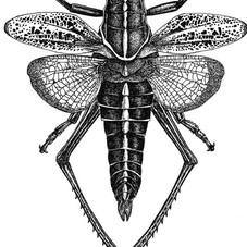 Romalia microptera