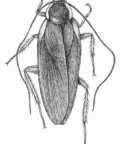 Parcoblatta