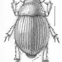 Geopsammodius hydropicus